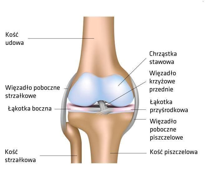 budowa kolana